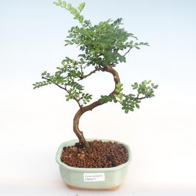Kryty bonsai - Zantoxylum piperitum - Drzewo papryki PB22077 - 1