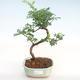 Kryty bonsai - Zantoxylum piperitum - Drzewo papryki PB22077 - 1/4