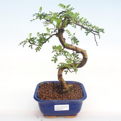 Kryty bonsai - Zantoxylum piperitum - Drzewo pieprzowe PB22079 - 1