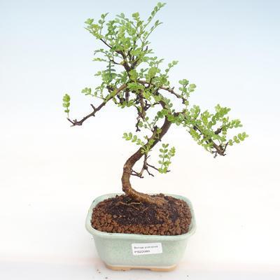 Kryty bonsai - Zantoxylum piperitum - Drzewo papryki PB22080 - 1