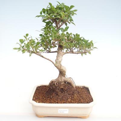 Kryty bonsai - Ficus retusa - ficus mały liść PB22083 - 1