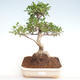 Kryty bonsai - Ficus retusa - ficus mały liść PB22083 - 1/2