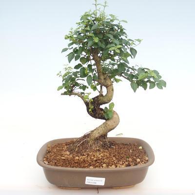 Kryty bonsai -Ligustrum chinensis - Privet PB22086 - 1