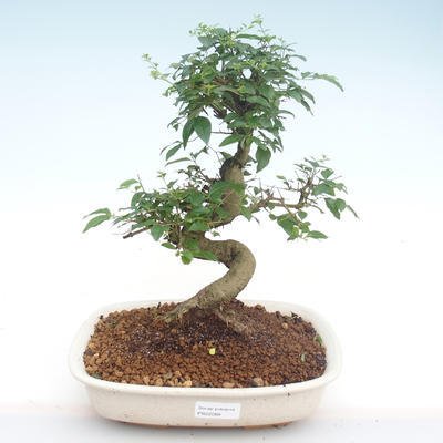 Kryty bonsai -Ligustrum chinensis - Privet PB22088 - 1