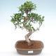 Kryty bonsai - Ficus retusa - ficus mały liść PB22090 - 1/2