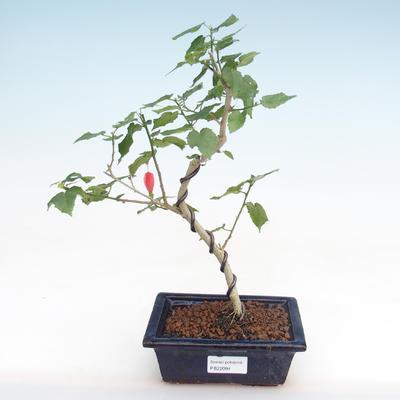 Kryty bonsai - hibiskus drobnokwiatowy PB22094 - 1