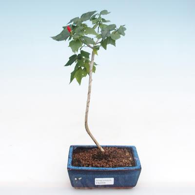Kryty bonsai - hibiskus drobnokwiatowy PB22095 - 1