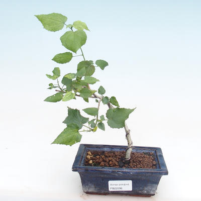 Kryty bonsai - hibiskus drobnokwiatowy PB22096 - 1