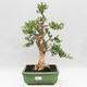 Kryty bonsai - Buxus harlandii - Bukszpan korkowy - 1/7