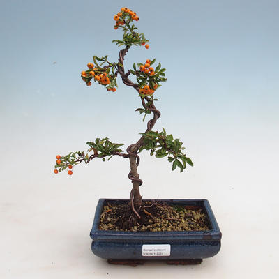 Outdoor bonsai-Pyracanta Teton -Hlohyny - 1