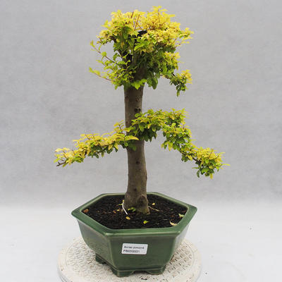 Indoor bonsai -Ligustrum Aurea - dziób ptaka - 1