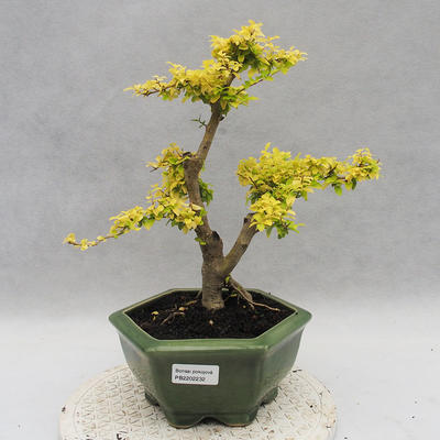 Indoor bonsai -Ligustrum Aurea - dziób ptaka - 1