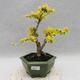Indoor bonsai -Ligustrum Aurea - dziób ptaka - 1/5
