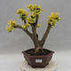 Indoor bonsai -Ligustrum Aurea - dziób ptaka - 1/6