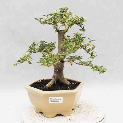 Indoor bonsai -Ligustrum Variegata - dziób ptaka - 1