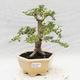 Indoor bonsai -Ligustrum Variegata - dziób ptaka - 1/6