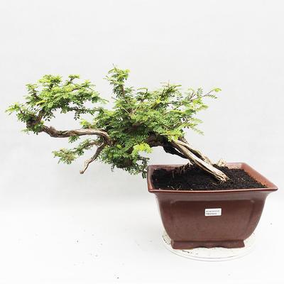 Kryty bonsai -Phyllanthus Niruri- Smuteň - 1