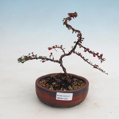 Outdoor bonsai-Cotoneaster - Rock Garden