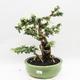 Kryty bonsai -Phyllanthus Niruri- Smuteň - 1/6