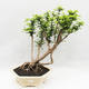 Kryty bonsai -Phyllanthus Niruri- Smuteň - 1/5