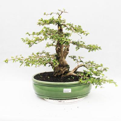 Bonsai do wnętrz - Cudrania equisetifolia - 1