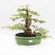Bonsai do wnętrz - Cudrania equisetifolia - 1/5