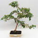 Room Bonsai - Australian Cherry - Eugenia uniflora - 1/5