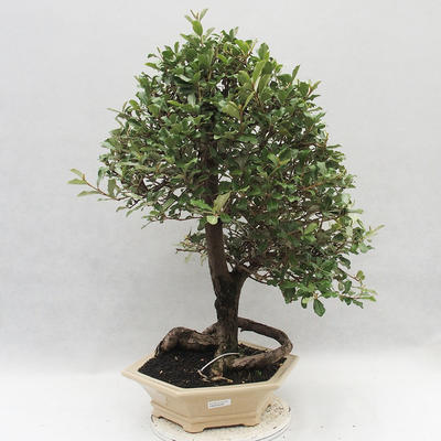 Kryty bonsai -Eleagnus - Hlošina - 1