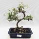 Kryty bonsai -Eleagnus - Hlošina - 1/5