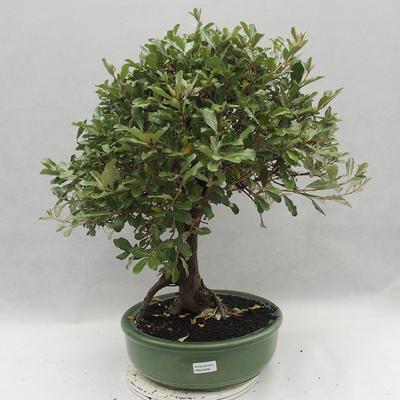 Kryty bonsai -Eleagnus - Hlošina - 1