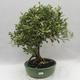 Kryty bonsai -Eleagnus - Hlošina - 1/6