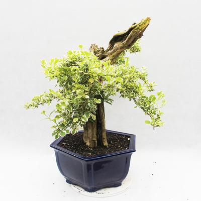 Bonsai do wnętrz - Duranta erecta Variegata - 1