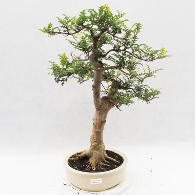 Indoor Bonsai - Fraxinus uhdeii - Indoor Ash - 1