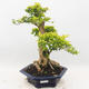 Bonsai do wnętrz - Duranta erecta Aurea - 1/6