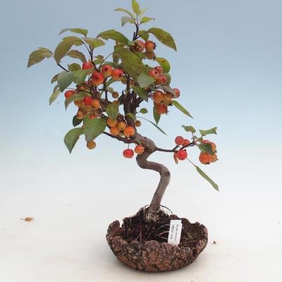Outdoor bonsai - Malus halliana - Jabłoń drobnoowocowa - 1