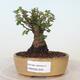 Bonsai zewnętrzne - Ulmus parvifolia SAIGEN - Wiąz drobnolistny - 1/6