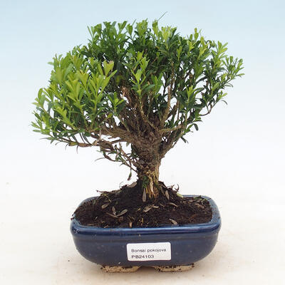 Pinus thunbergii - Thunbergova Pine - 1