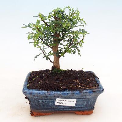 Bonsai do wnętrz - Zantoxylum piperitum - Mięta pieprzowa - 1