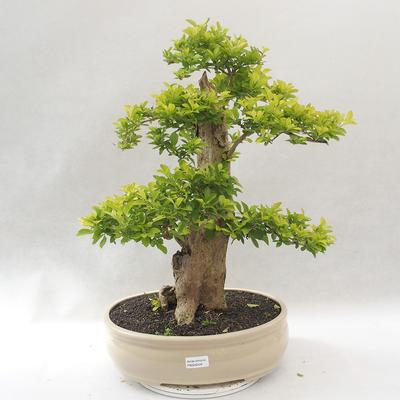 Bonsai do wnętrz - Duranta erecta Aurea - 1