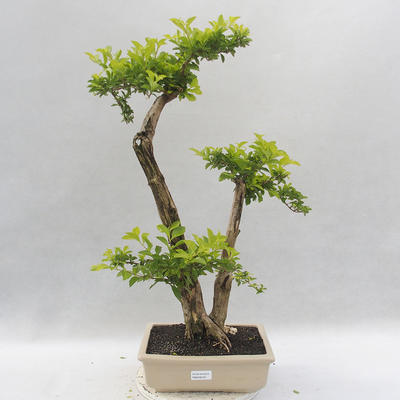 Bonsai do wnętrz - Duranta erecta Aurea - 1