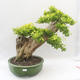 Bonsai do wnętrz - Duranta erecta Aurea - 1/5