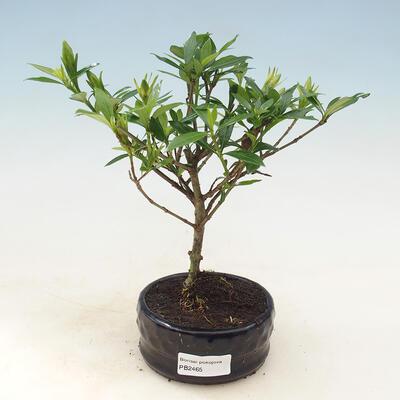 Bonsai do wnętrz - Gardenia jasminoides-Gardenia - 1
