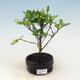 Bonsai do wnętrz - Gardenia jasminoides-Gardenia - 1/2