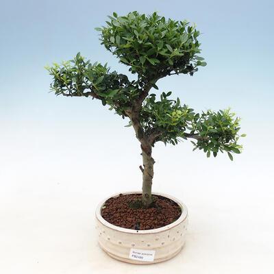 Bonsai do wnętrz - Ilex crenata - Holly - 1