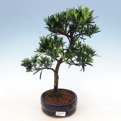 Kryty bonsai - Podocarpus - Kamienny tys - 1