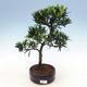 Kryty bonsai - Podocarpus - Kamienny tys - 1/4