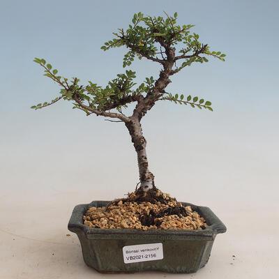 Kryty bonsai - Carmona macrophylla - herbata Fuki PB2201256 - 1