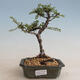 Kryty bonsai - Carmona macrophylla - herbata Fuki PB2201256 - 1/5