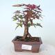 Bonsai outdoor - Maple palmatum DESHOJO - Maple palmate - 1/5