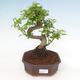Indoor bonsai -Ligustrum chinensis - dziób ptaka - 1/3